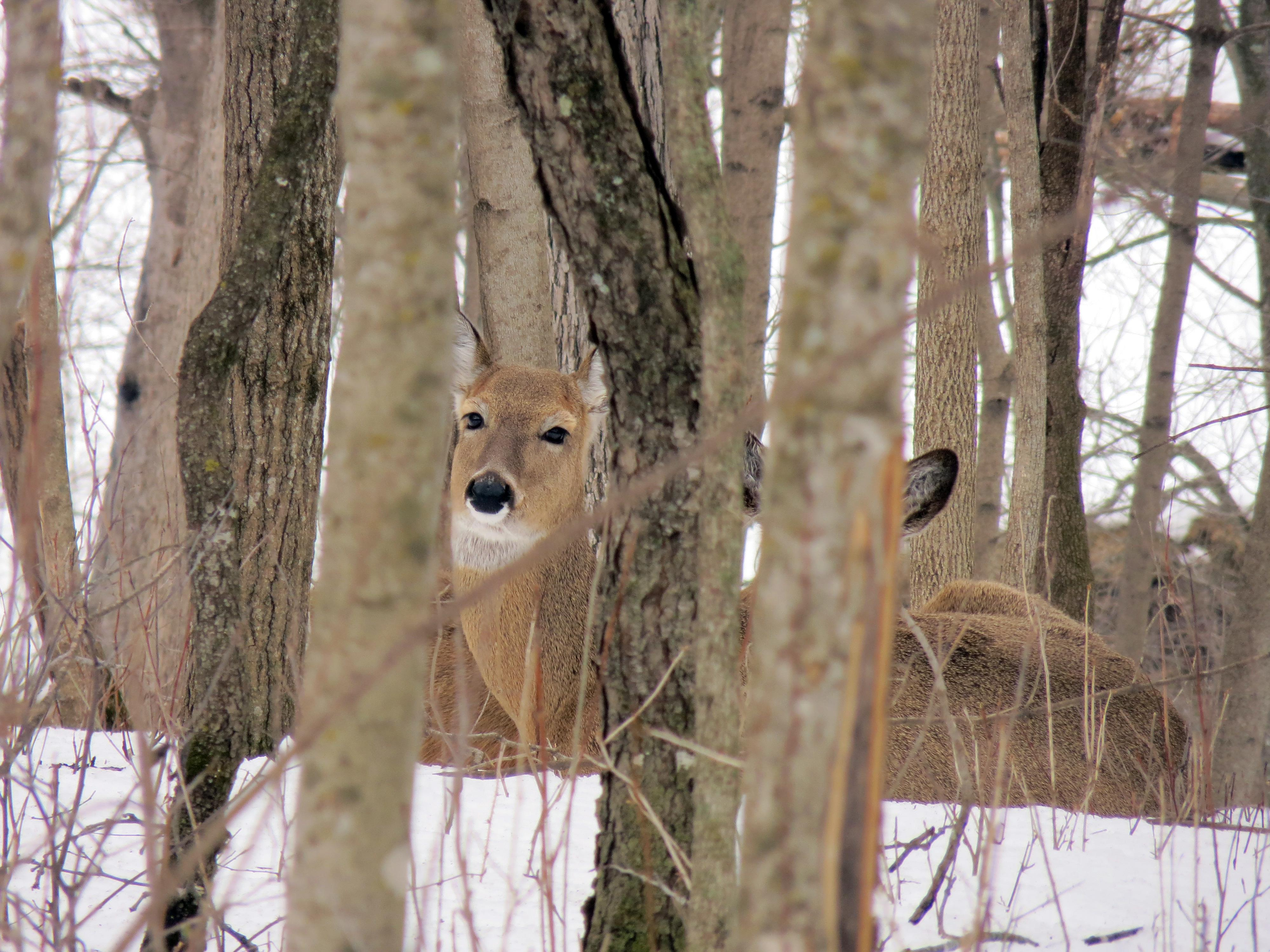 Image of deer hidden in trees