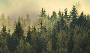 Image of tree tops in forest with yellow sky