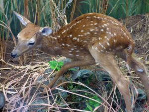 graphic of a fawn